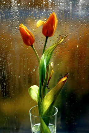 The image of two tulips on a background of a glass in drops covered by the sun