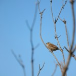 A photo of a sparrow in a tree